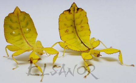 adf05ccdd53 Elsanor phasme feuille phyllium philippinicum jaune